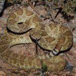 Mojave Rattlesnake Crotalus scutulatus