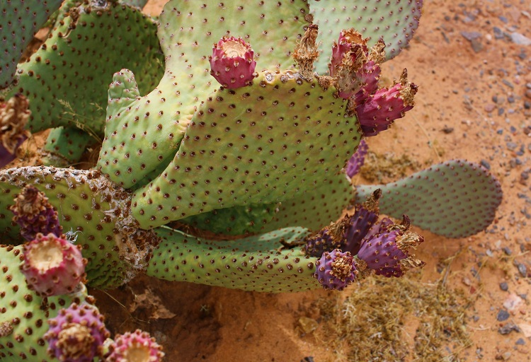 What is Beavertail Cactus