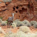 What is a Desert Bighorn Sheep