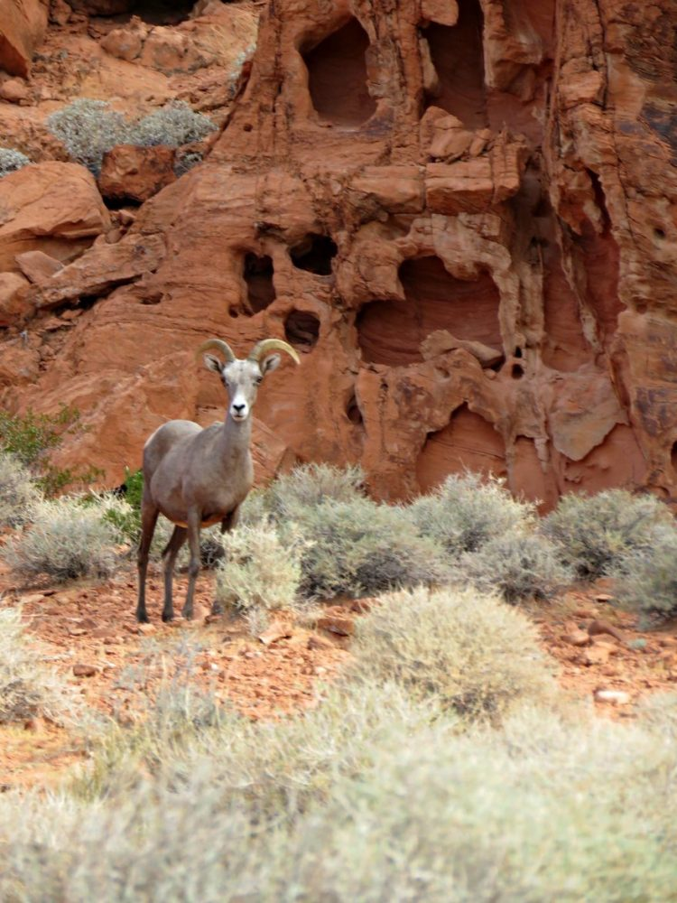 What is a Desert Bighorn Sheep