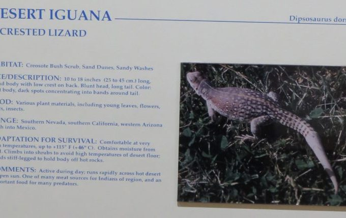 What is a Desert Iguana
