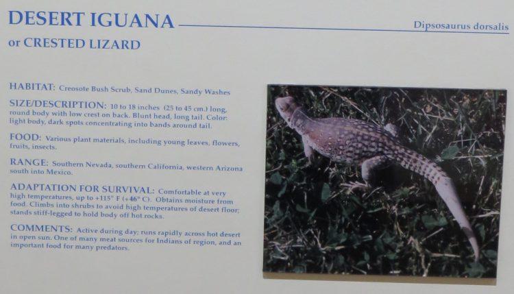 What is a Desert Iguana