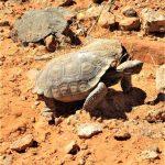 What is a Desert Tortoise