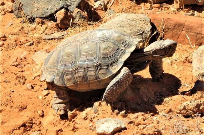 What is a Desert Tortoise