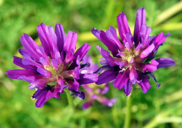 Alfalfa aka Lucerne Medicago sativa