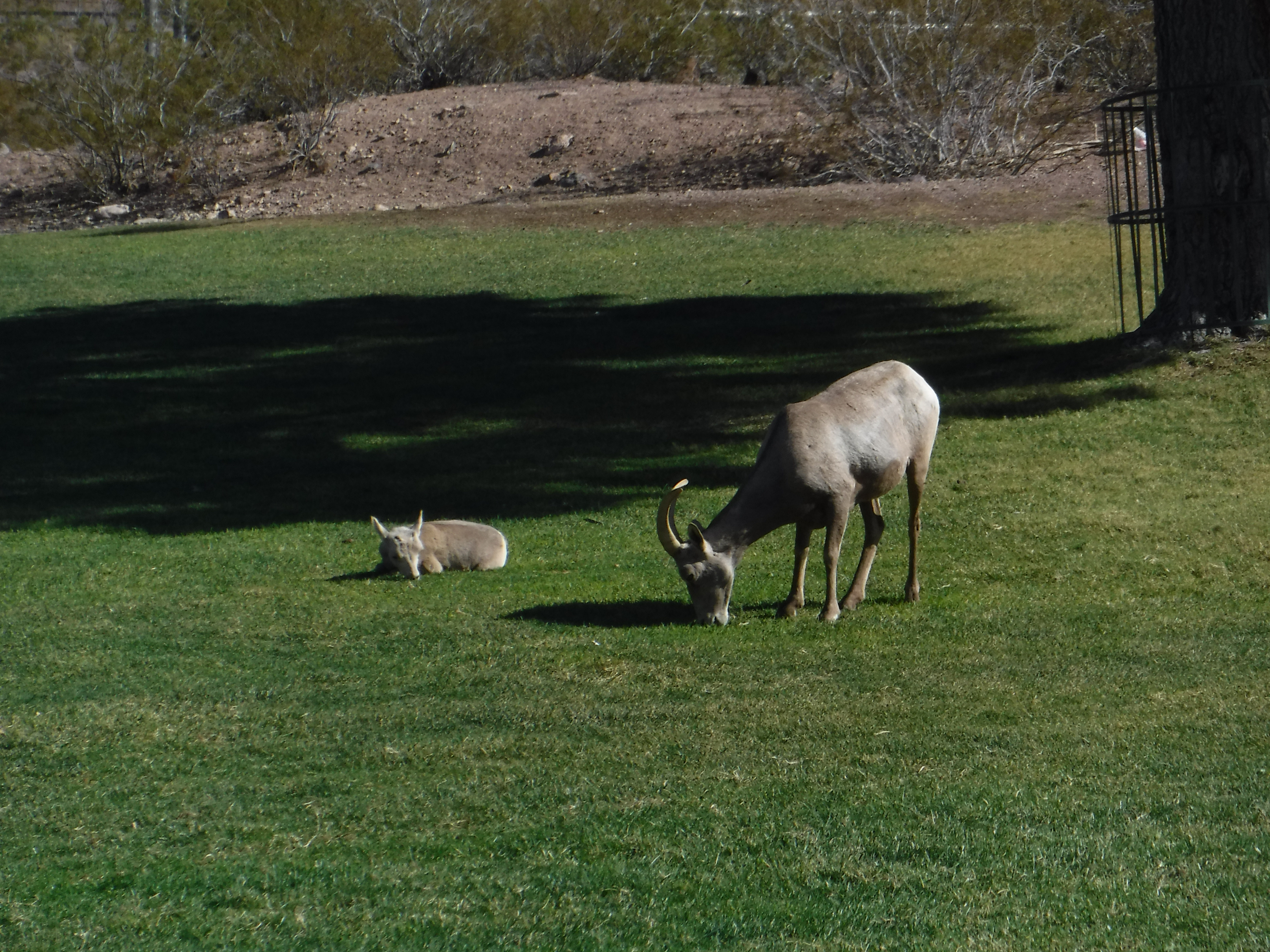 What a Desert Bighorn Sheep